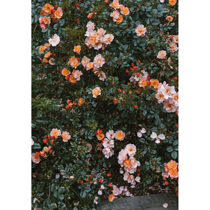Fine Little Day Rose Poster (70x100)